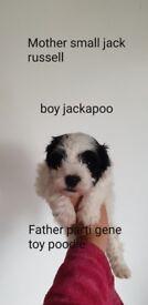 3 Toy Poodles & 1 Jackapoo