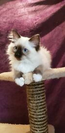 Absolutely stunning TICA registered kittens for sale