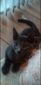 6 month old Male and female russian blue cats for sale £700
