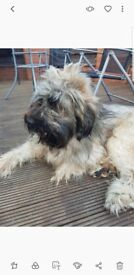 French briard to an experienced dog owner home