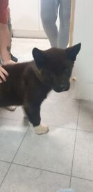 American akita 11weeks puppy boy URGENT