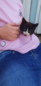 Male black and white fluffy kitten
