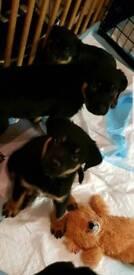 2 female Rottweiler puppies