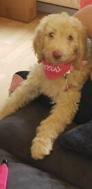Standard poodle puppy 17 weeks old
