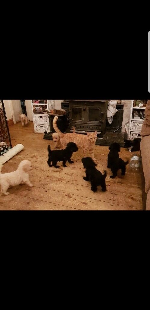 Goldendoodle puppies for sale | in Pencader, Carmarthenshire | Gumtree