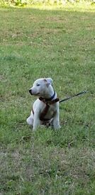Adorable staffy pup