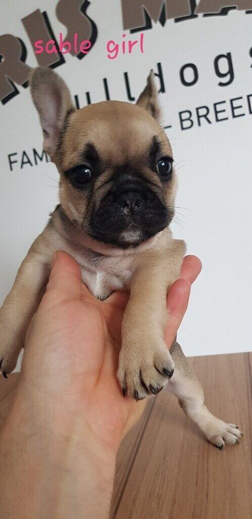 Kc register French bulldog puppies | in Gateshead, Tyne and Wear | Gumtree