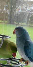 Ringneck blue colour