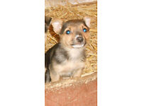 Pomerian /Jack Russell Pup Female