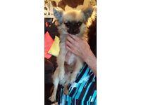 Chihauhua puppy