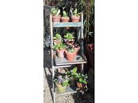 Vintage terracotta pots with auriculas