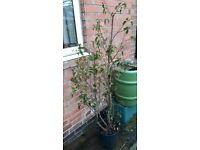 Portuguese Laurel / Prunus lusitanica