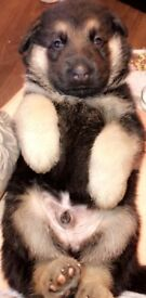 4 German shepherd puppies for sale