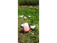 Gorgeous Back Garden Pets - White Silkie Bantam Chickens