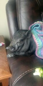 Young potbelly pig
