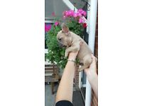 KC French Bulldog Puppies, ***£850***