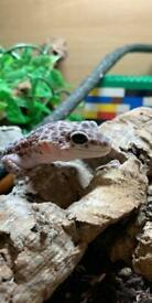 Mack snow eclipse leopard gecko and full set up