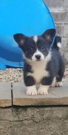 Male welsh corgi puppy