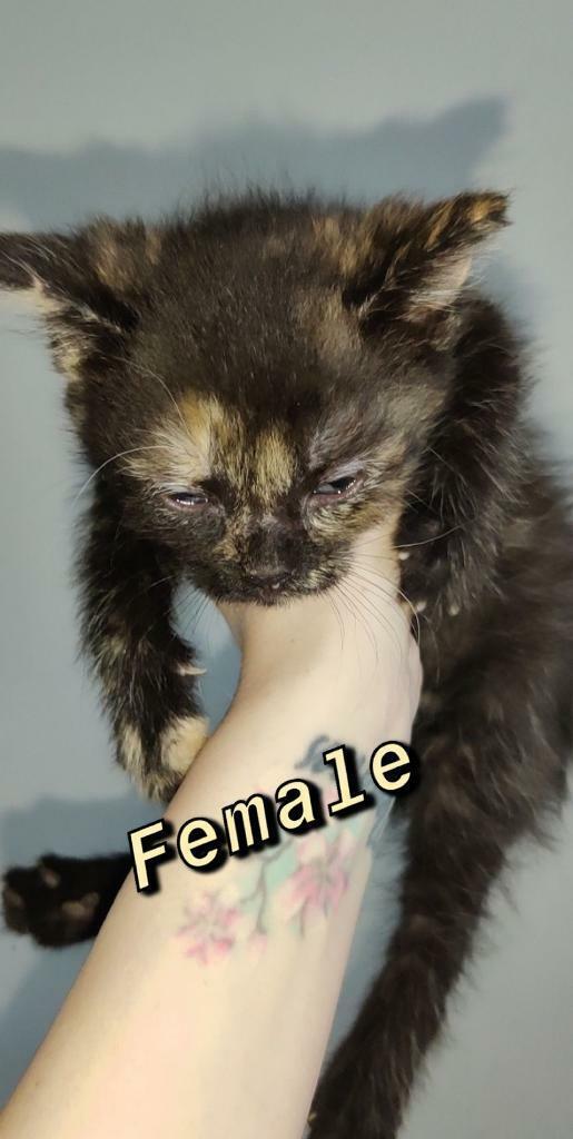 One Female Kitten Left In Gorebridge Midlothian Gumtree