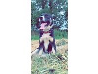 Beautiful Female Collie 18 months old