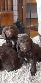 Beautiful minature chocolate sproodle puppies