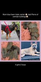 Beautiful french bulldog puppies kc reg