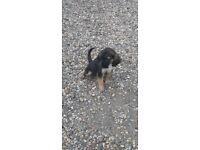 labrador x beagle puppies