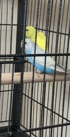 Beautiful budgie pair with cage