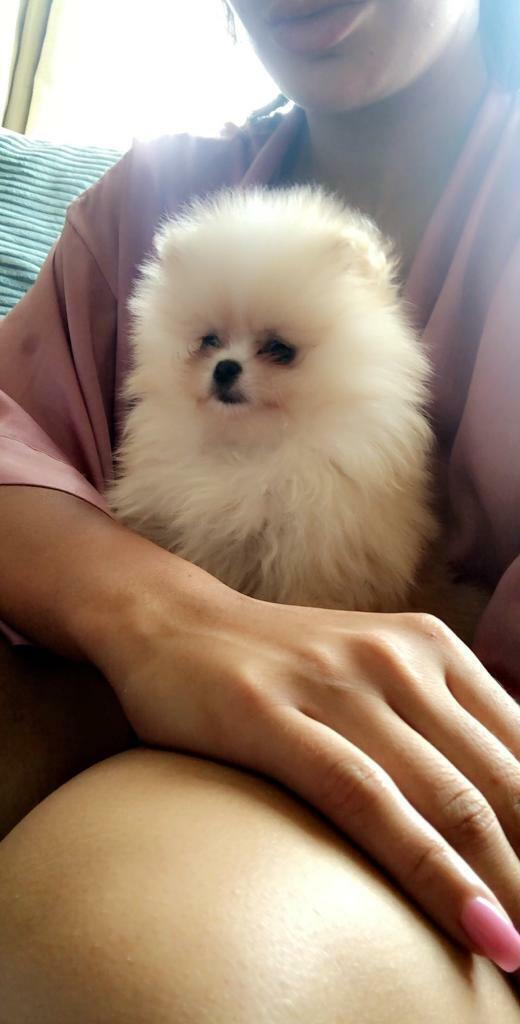 XS Teacup Pomeranian for sale! | in Isleworth, London | Gumtree