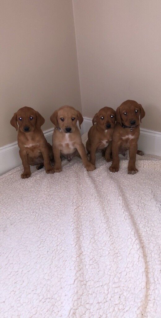 Fox Red Labrador Puppies In Ingleby Barwick County Durham