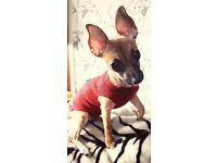 Lilly 6 months old Female chihuahua mix for Sale