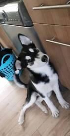 Husky ( Skye) female