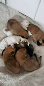 German akita pups only 3 left ready leave soon