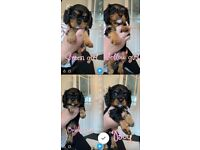 DNA tested cavalier King Charles puppies
