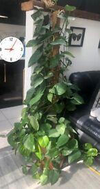 Money plant/ Indoor trailing plant