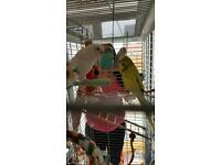 Budgies and cage/s
