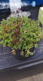 Sedum succulents ground cover