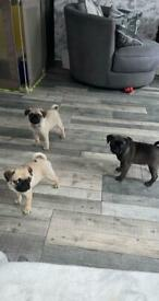 Gorgeous pug puppy's ready for new homes