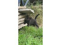 5 black kittens for sale