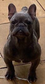 KC Registered female French bulldog