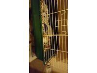Rat pups plus cadge good price
