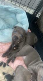 blue staff puppies father king baloo