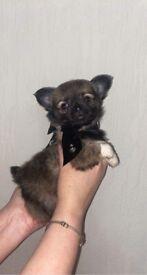Beautiful longcoat sable girl chihuahua puppy
