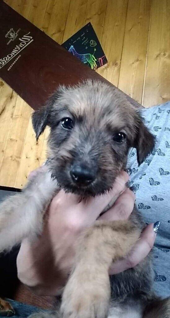 Lurcher puppies for sale | in Burton-on-Trent, Staffordshire | Gumtree