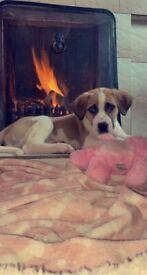 Lurcher X St Bernard Pup