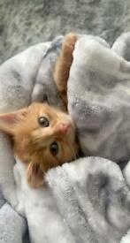 Kitten for sale £500