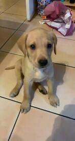 Labrador yellow pup