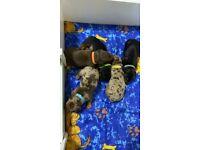 5 Male miniature dachshund pups