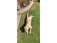 golden Labrador pup for sale