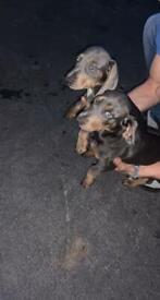 Dashound puppies